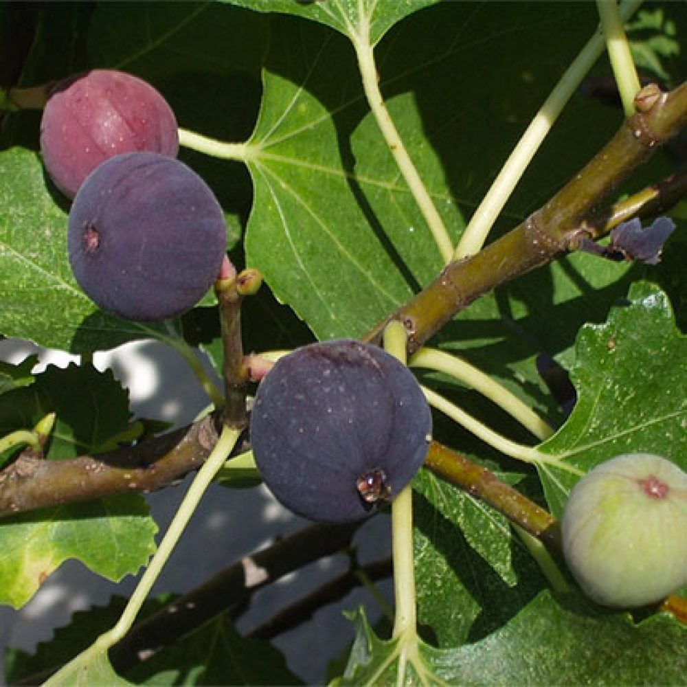 Chicago Hardy Fig Tree