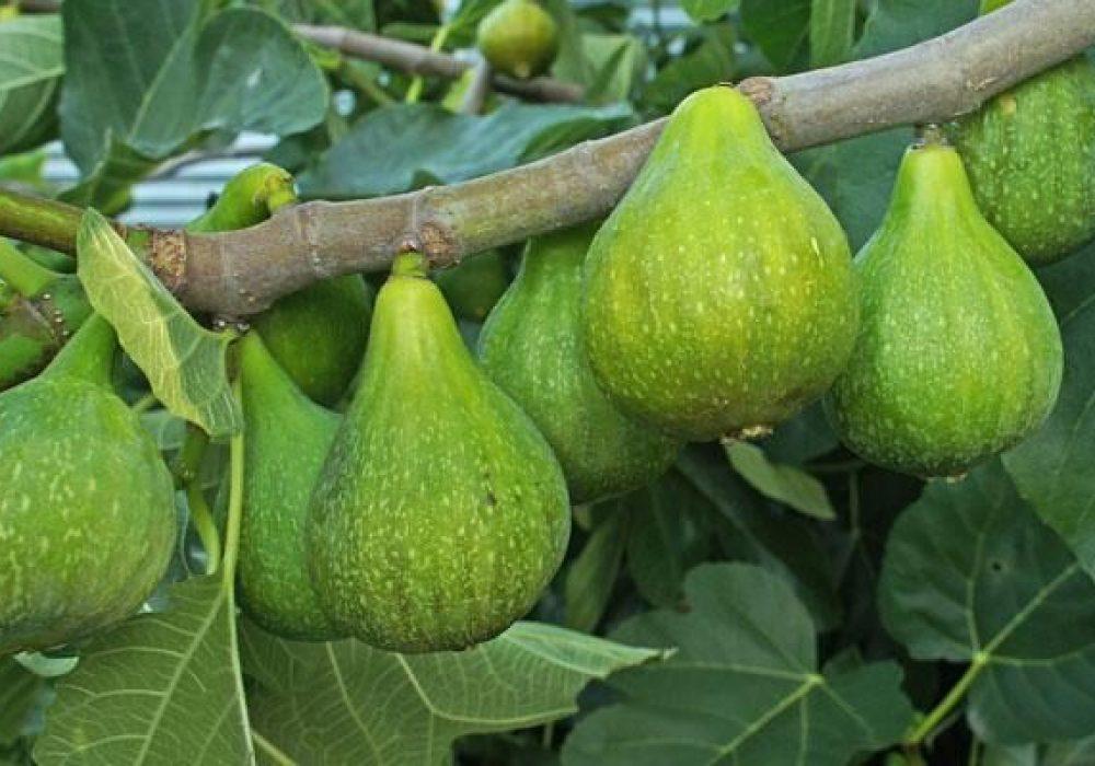 Desert King fig tree