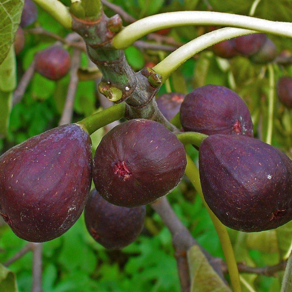 GE Neri Fig tree