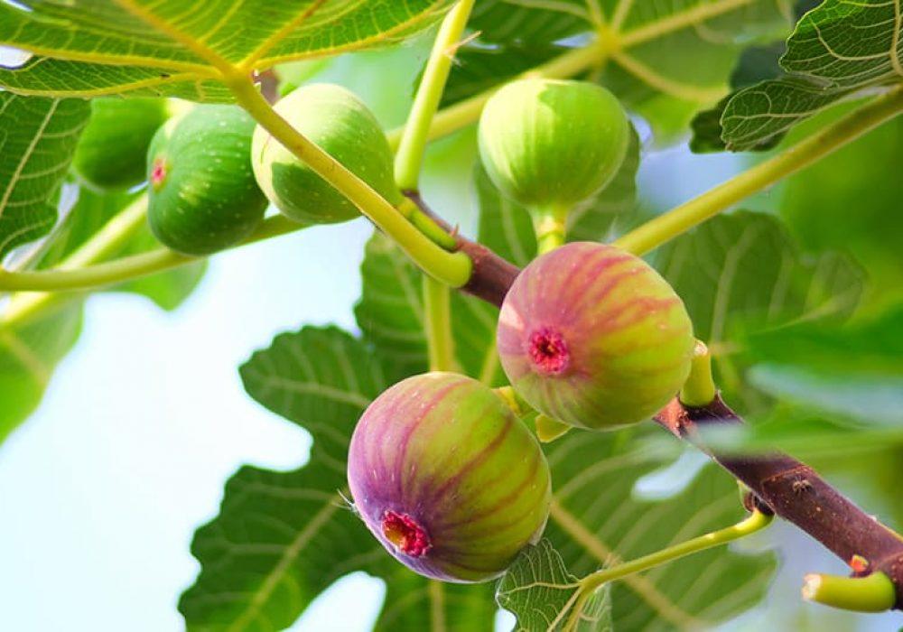 Golden Riverside Fig tree