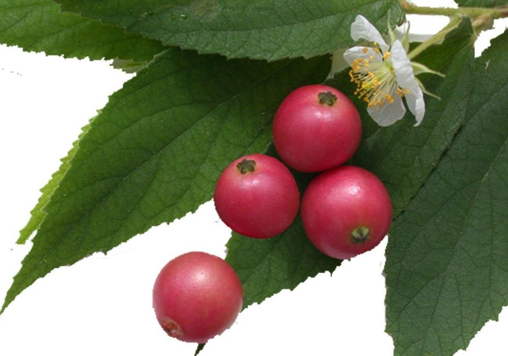 Jamican_Cherry front pic