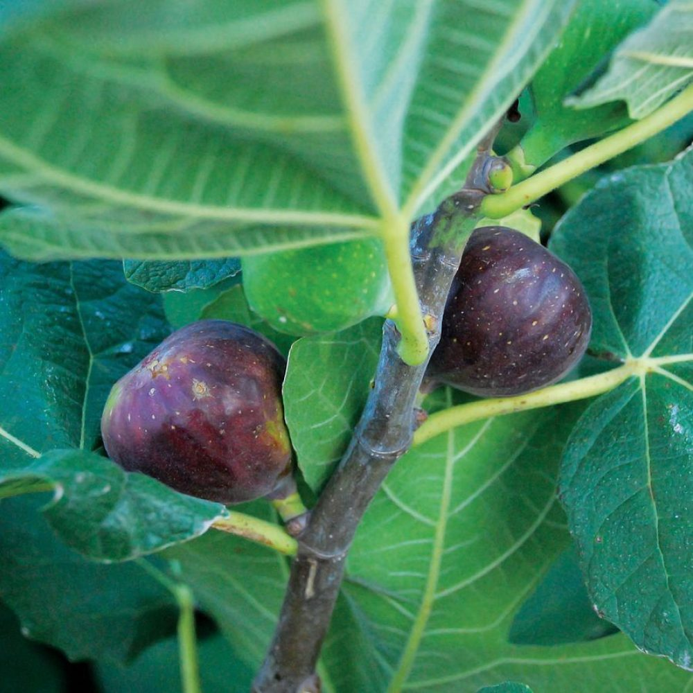 Letizia fig tree