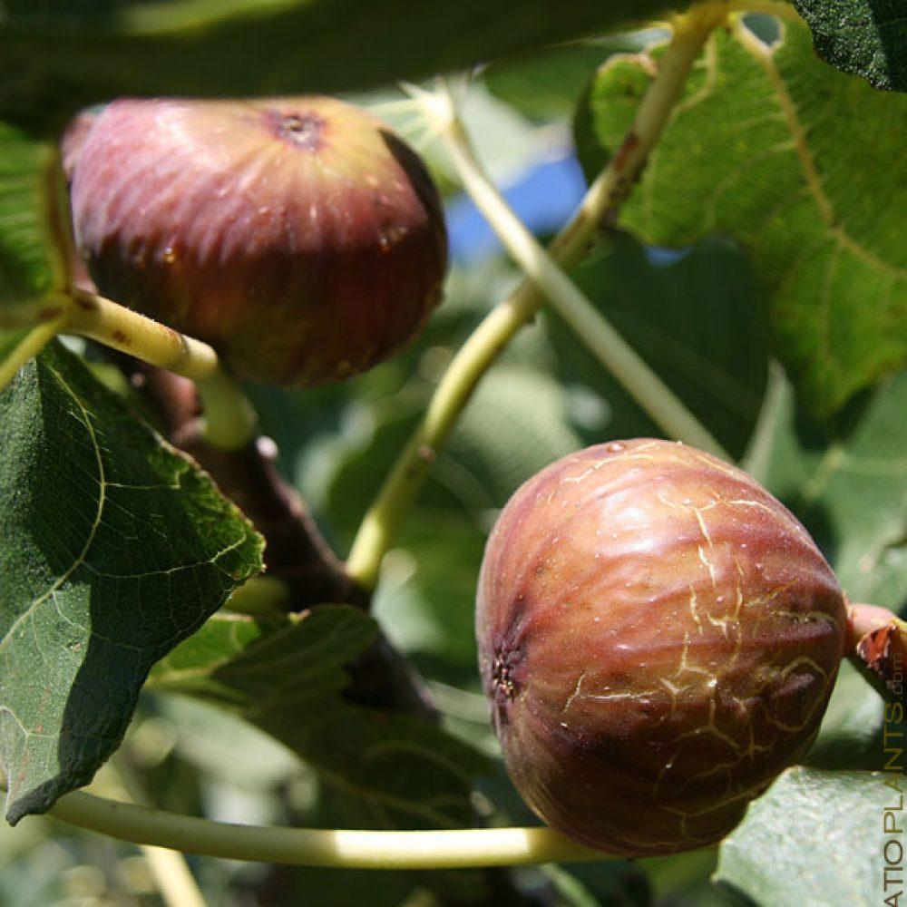 Magnolia aka Brunswick fig tree