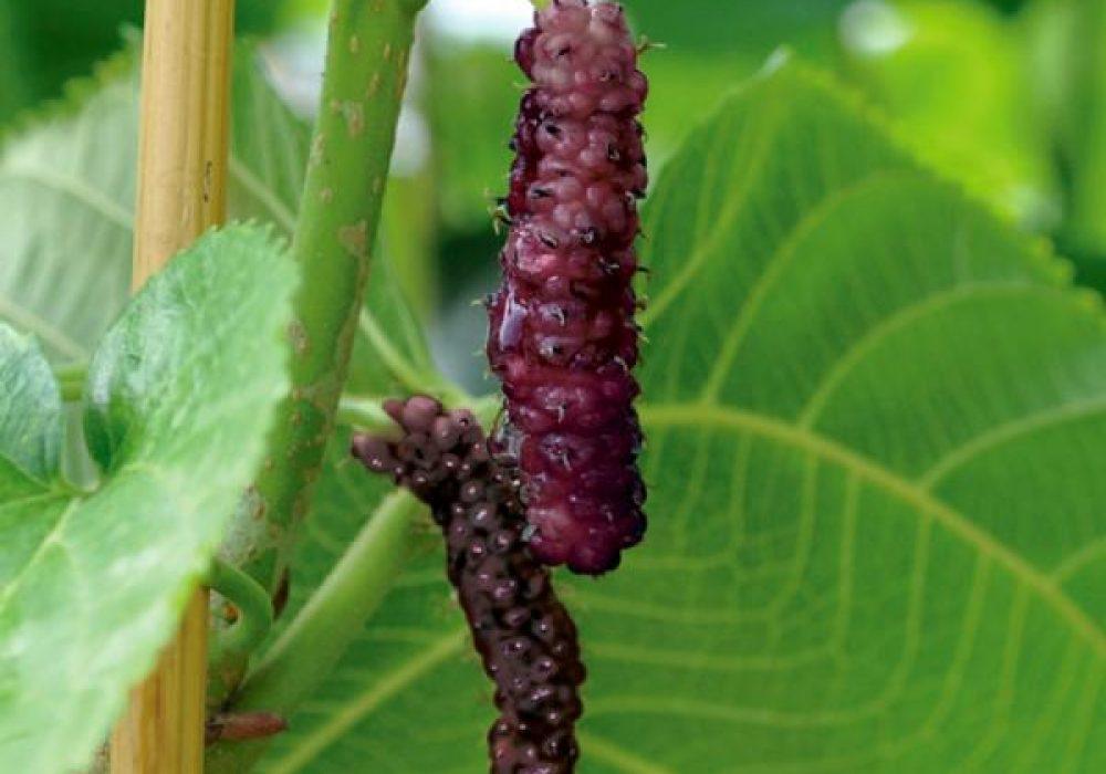 Pakistani red Mulberry new