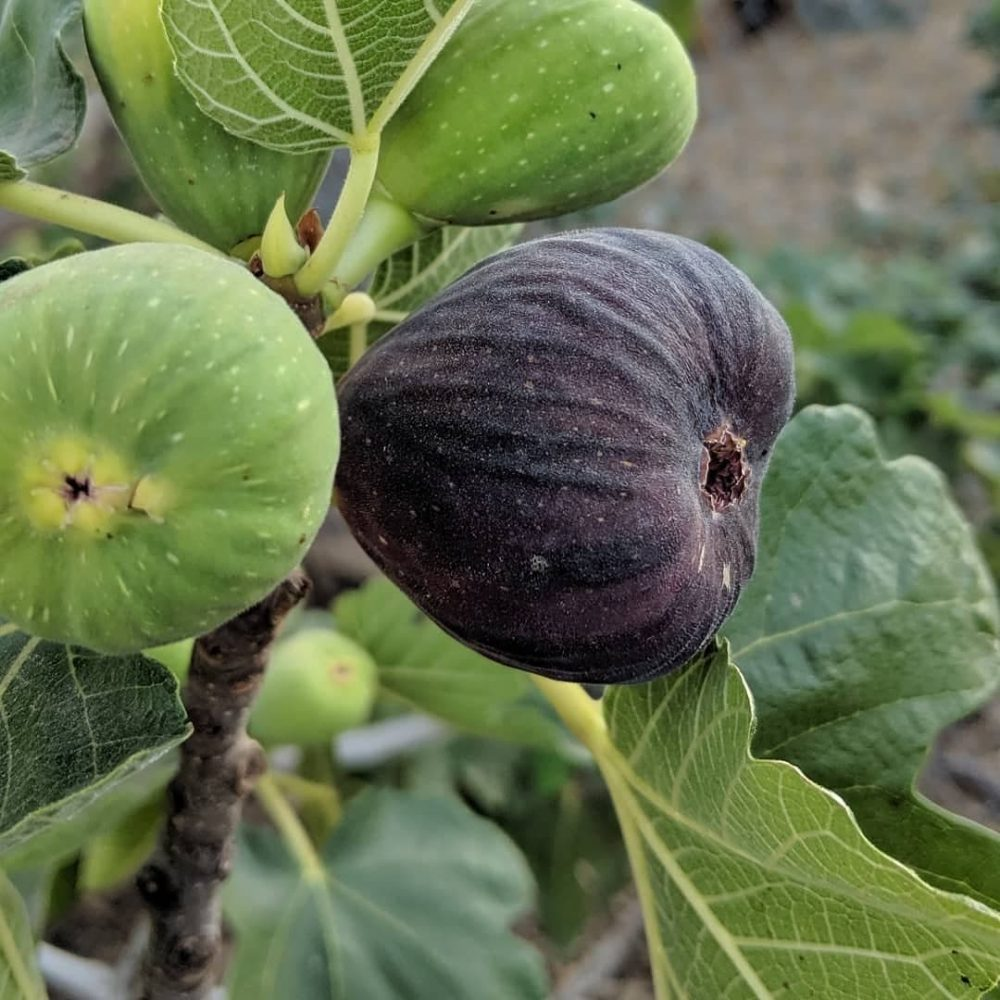 Violette De Bordeaux aka VDB Fig Tree