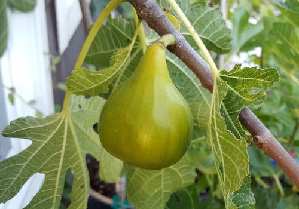 White Adriatic Fig Tree