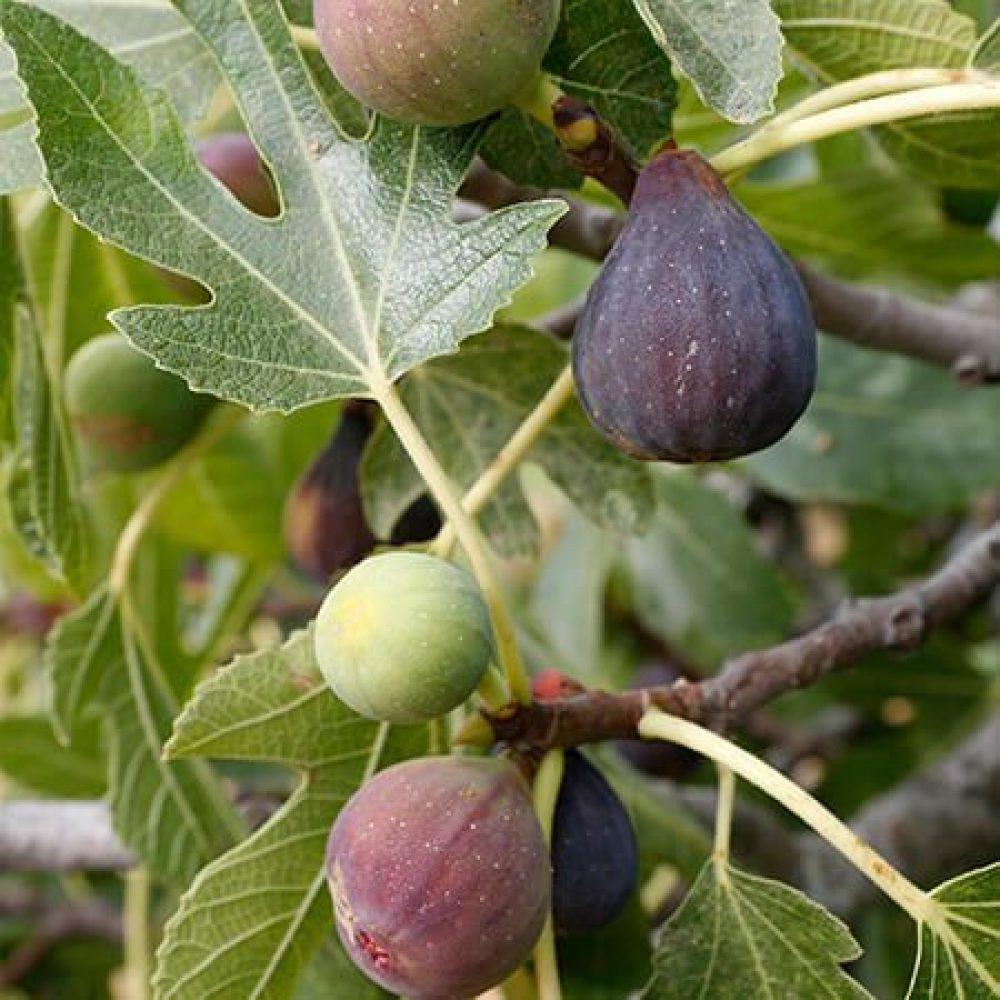 Celest Fig Tree